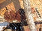 Nos 7 poules, toujours en vie!