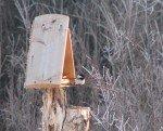 Peti Chickadee sur le perchoir