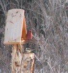 Crossbeak, de la taille d'une grosse perruche est le gros dur de la forêt. Aucun oiseau ne peut se nourrir tant qu'il monte la garde sur les graines!