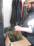 Matt réssuscite les plants de fraises ayant passés l'hiver dans le cellier.