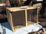 Les abeilles dans leur boîte de transport.