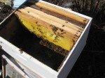 Tas d'abeilles au fond de la ruche, juste après qu'elles aient été versé dedans.