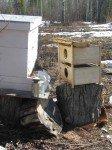Les boîtes contenant les abeilles sont laissées pour quelques heures, le temps que les dernières abeilles sortent pour rejoindre la ruche.