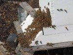 Amas d'abeilles à l'entrée, juste après leur installation.