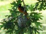Un Oreal, un bel oiseau orange vif qui semble tout droit venir d'Amérique Centrale. Son nid est perché sur le bout d'une branche au dessu de l'eau.