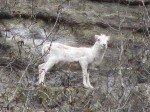 """Un """"Dall Sheep"""" en rentrant d'Anchorage. Perchés sur les falaises, ces animaux sont très rarement observés."""