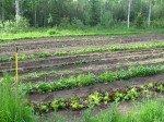 """Le premier jardin. Au premier plan, le """"mixed greens"""", mélange de salade en tout genre; puis les épinards. Nous avons plantés la même chose que l'année dernière et espérons encore une fois tenir tout l'hiver avec notre récolte."""