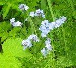 """Fleurs de montagnes appelées """"Forget me not"""". La fleur de l'Alaska."""