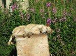 A dog's life. Doc savoure un bain de soleil au milieu des Fireweed (épilobes).