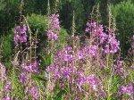 Fireweed (Epilobes) en fleurs.