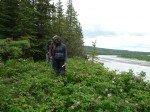 """Longeant la rivière pour retrouver notre coin de pêche. Champs de roses sauvages, les """"Atabascan Roses""""."""