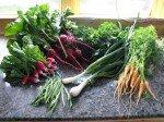 Première récolte de radis, haricots verts, bébés carottes, bébés betteraves rouges, choux frisé, oignions. Le tout cuisiné dans une belle poelée au beurre! Sauf les radis, sur des crackers avec du beurre!