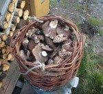 Une autre récolte de pieds de mouton. Coupés en lamelles et mis à sécher, nous les dégusterons tout l'hiver.