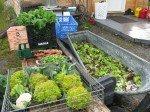 Récolte du jour: magnifique brocoli (Veronica Romanesca), onions verts, rhubarbe, salade mixte, choux frisé, origan.