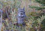 Ce lynx a littéralement posé pour la photo devant un groupe de touriste, à quelques mètres de la route! Un vrai portrait. (photo de Ronda)