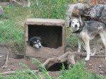 Gobi est libre mais squatte la niche de Sherley! Quel toupet! En journée, elles ne sont plus libres ensemble car elles vont vagabonder trop loin et nosu voulons éviter qu'elles rendent visite au voisin tueur de chiens!