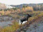 Elan mâle aperçu sur le bord de la route en allant sur Valdez. Il est passé à une 15° de mètres derrière la voiture garée.
