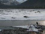 Aigle sur la route de Valdez.
