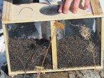 L'amas d'abeilles, une fois gavée de sucre. Matt vient de secouer la boîte pour les faire tomber dans le fond.