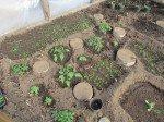 Plants de tomates, basilique...