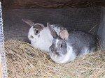 Nos deux lapins. Deux soeurs.