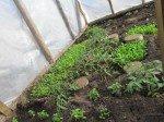 Plants de tomates qui poussent à vue d'oeil et salade mixte.