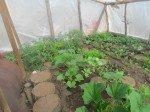 Tout pousse à merveille dans la serre! Nos plants de tomates sont en fleurs et nous aurons bienôt des courgettes!