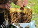 Matt inspecte le travail des abeilles. Il était temps de leur ajouter un étage, elles construisaient vers le bas.