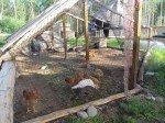 Poulets (à manger bientôt!), futures poules pondeuses et dindes, tous en pleine santé! Il nous en reste 16, plus deux poules couveuses et un cop!