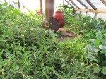 La serre jungle. Tomates, basilique, brocolis, courgettes, haricots, aubergines.