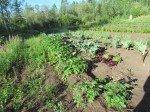 Le jardin pousse à vue d'oeil: oignons verts, épinards, choux, choux frisés, brocolis, salades, ail, pois, fraises.