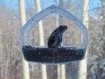 Un petit chickadee, sous notre fenetre.
