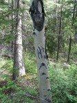 Traces de griffes d'ours sur un arbre. Assez courant près de chez nous.