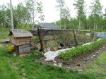 Notre rangée de fraises ayant survécues à l'hiver, en pleine fleurs! Et le nouvel enclos des poules, pour plus de verdure.