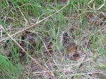 Morilles bien cachées dans les herbes.